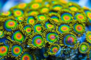 1 p Rasta Zoa Zoanthids Palythoa Soft Marine Reef Live Coral Frag Corals Frags