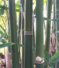 Mature Cold Hardy 'Green Hedge' Bamboo Clumping non-invasive ROOT DIVISION