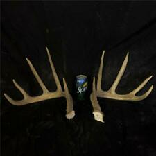 Large Whitetail deer Antlers Taxidermy antler dog chew