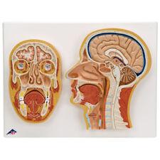 3B Scientific C13 Median & Frontal Section of Head & Brain Anatomical Model C13