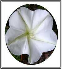 5600mg GIANT White Moon Vine Seeds ~ 20 Ct Exotic Morning Glory Moonflower Seeds