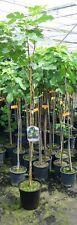 Feigenbaum Signora ca. 160 - 180 cm Ficus carica Feige winterhart