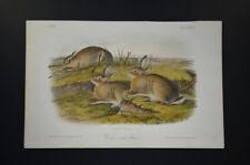John James Audubon. Worm–wood Hare. No 18. Plate 88. Quadrupeds of North America