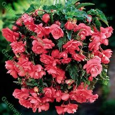 5 PINK PENDULA BEGONIA TRAILING BULBS/CORMS GARDEN/HANGING BASKET SUMMER FLOWER