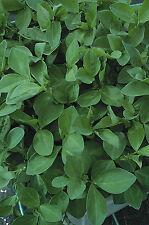 Engrais verts-Moutarde Blanc Tilney 50 grammes