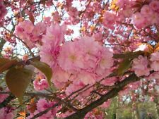 10 seeds Japanese Cherry Sakura Prunus serrulata * Bonsai * Ornamental * CombSH