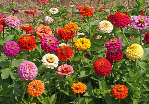 Bulk Seed ZINNIA Elegans Heirloom Pumila Mix Butterfly Dahlia Quality Wildflower