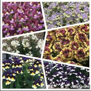 Super Fragrant Nemesia -25 Fresh Flower Seeds (collection of 6 colours)