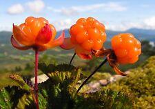 Cloudberry Rubus Chamaemorus RARE EDIBLE ARCTIC BERRY Seeds 10 PCS