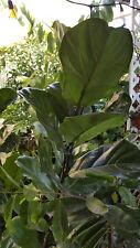 Fiddle Leaf Fig Tree - Ficus lyrata - 4 to 5 Feet Tall