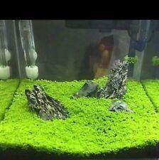 10000 semi prato acquario facile, hemianthus callitrichoides iwagumi acquascape