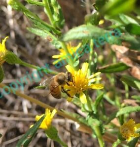 500 semi Inula Viscosa - LOTTO 0.5 gr - pianta estremamente mellifera Dittrichia