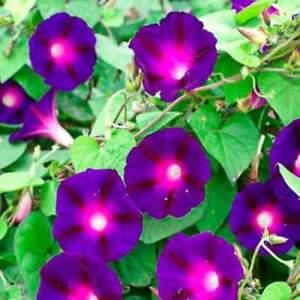 Morning Glory Knowlians Black 15' Vine Hummingbirds Love Non-GMO 15 Seeds.