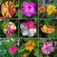 50 Samen Wunderblume Mix - Mirabilis jalapa - Vieruhrblume - Four O'clock seeds