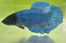New listing Betta Metallic Blue Aqua Green Star Rosetail Black Mask Halfmoon Hm Female Af30