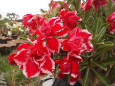 "Rosy Adenium Obesum (Desert Rose) ""Christmas"" Grafted Plant"