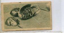(Ga6348-100) Teofani, Aquarium Studies, London Zoo, #11 King-crabs 1925 VG