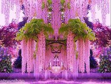Semi GLICINE ROSA. rari - Wisteria Floribunda - Japan Giapponese rosa