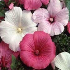 Rose Mallow- Lavatera Trimestris- Mixed colors- 100 seeds