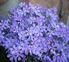 6 Medium Tall Wild Phlox Plants - Gorgeous Breath Taking Blue Flowers in Spring