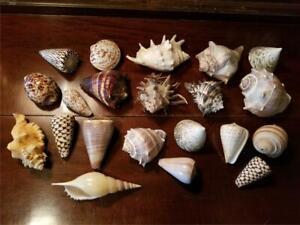 Huge Lot Collection 21 BEAUTIFUL Antique & Vintage Sea Shells Ocean Beach Decor