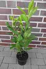 Kirschlorbeer Rotundifolia  10 St. 60-80cm /  Heckenpflanzen / Kirschlorbeeren