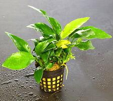 Aubias Barteri Nana 15-26 leave - Live Aquarium Plants (The plant pot excluded)