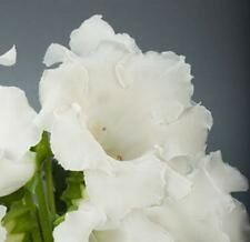 25+ GLOXINIA  PURE WHITE  EMPRESS  FLOWER SEEDS