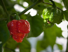 TRINIDAD MORUGA SCORPION pure seeds