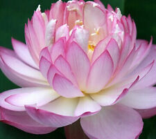 Bonsai Lotus /water flower/Bowl-Pond Lotus/5 Fresh seeds/Polyphyll Pink Lotus