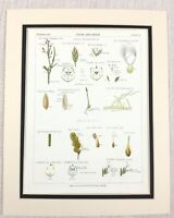 1883 Antico Botanico Stampa Prati Erba Carice Grasses Piante Cromolitografia