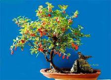 110 Graines BIO Goji Lycium barbarum Goji-Berry Organic Chinese Wolfberry seeds