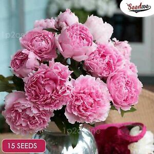 Peonies x15 Seeds Double Peony Indoor Outdoor Plants Rare Sarah Pink Flowers