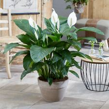 Spathiphyllum 'Peace Lily' House Plant - Live Indoor House Potted Tree In 9cm