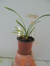 orchid / orchidee Cymbidium Ice Cascade x lowianum