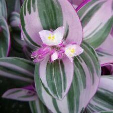 Tradescantia fluminensis - Nanouk Lilac- Miniature succulent- 1 x cutting rooted