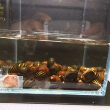 10 Assorted Nerite Snail