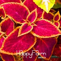100 PCS Seeds Bonsai Coleus Jazz Ruby Plants Flowers Decoration Free Shipping N