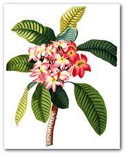 Pink Flower Print, Botanical Plumeria Art, 8 x 10 Inches, Unframed