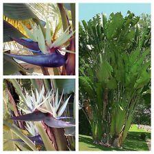 STRELITZIA NICOLAI - Tropical White Giant Bird Of Paradise - 10 Fresh Seeds