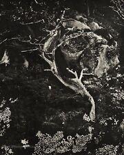 1964 Vintage EDWARD WESTON Cypress Rock Point Lobos Landscape Photo Art 16X20