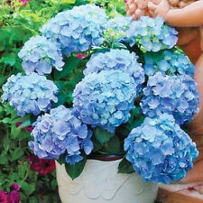 Gift Rare Blue Hydrangea Tree Seeds Easy To Garden 10pcs Ideal Decoration Flower