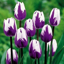 100 seed Bonsai Tulip Seeds Rare Purple& White Flower rose Garden Potted Plants