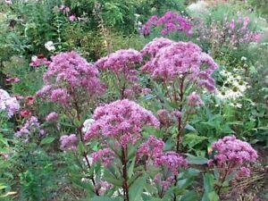 Eupatorium Purpureum-Eutrochium Joe-pye Weed/30 seeds, Hardy Perennial