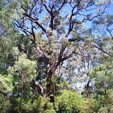 EUCALYPTUS patens  Swan River Blackbutt Seeds (E 118)