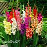 Cut Gladiolus Bonsai Flowers Perennial Plants Aerobic Gladiolus 100 PCS Seeds N