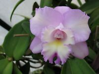 Rare orchid hybrid (near bloom)​ - Laeliocattleya Angel Heart 'Hihimanu'