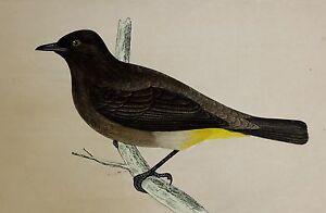 c1875 ANTIQUE PRINT ~ GOLD-VENTED THURSH HAND COLOURED British Birds Morris