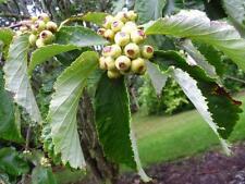 Sorbus hemsleyi-raro mostellar árbol en Pot 9cm