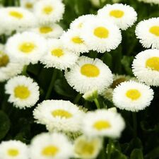 Heirloom 50 White Daisy Seeds Exotic Bonsai Flower Seeds